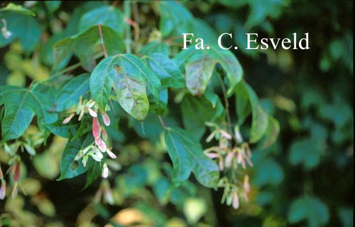 Acer campbellii ssp. wilsonii