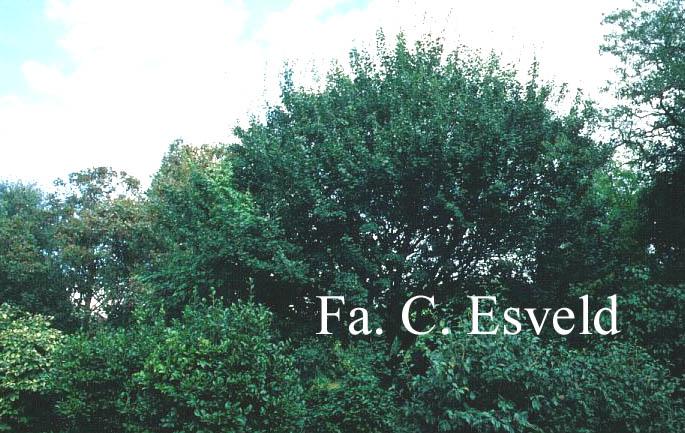 Acer coriaceum