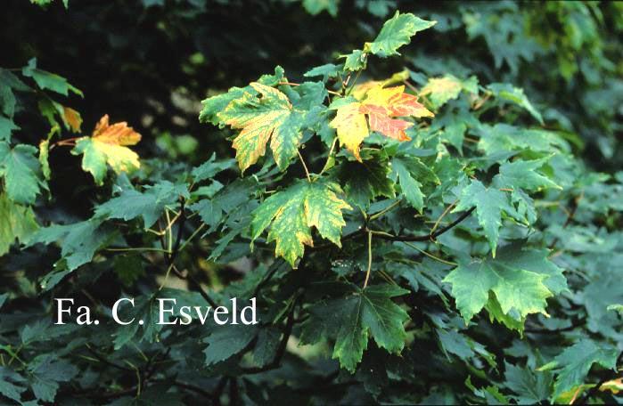 Acer heldreichii ssp. trautvetteri
