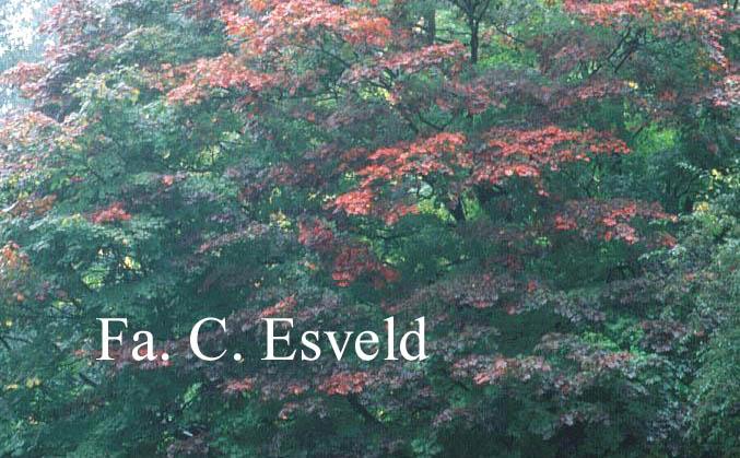 Acer japonicum 'Vitifolium'