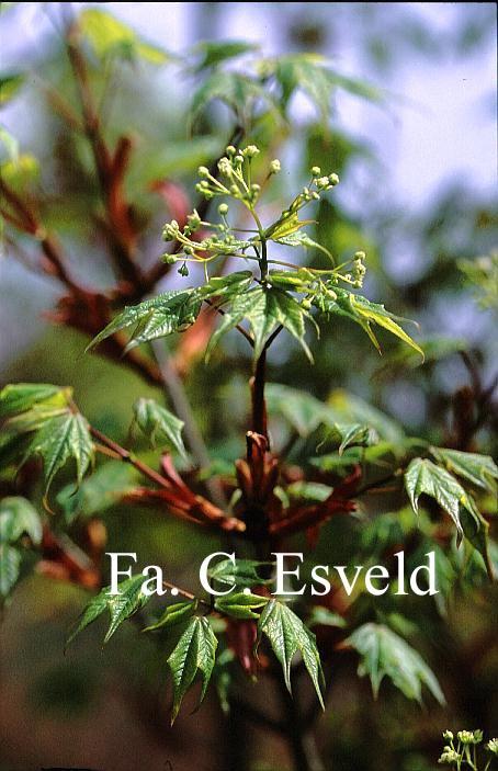 Acer longipes