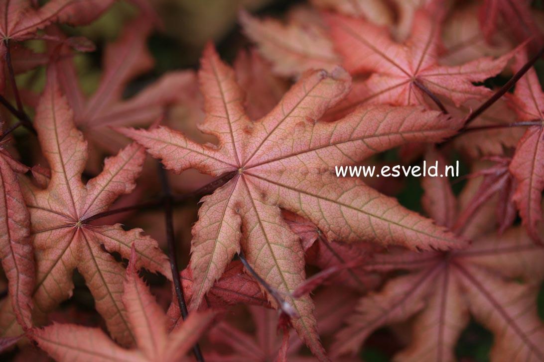 Acer palmatum 'Amber Ghost'