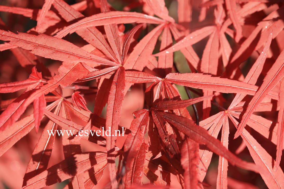 Acer palmatum 'Beni-ohtake'