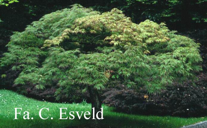 Acer palmatum 'Dissectum Rubrifolium'