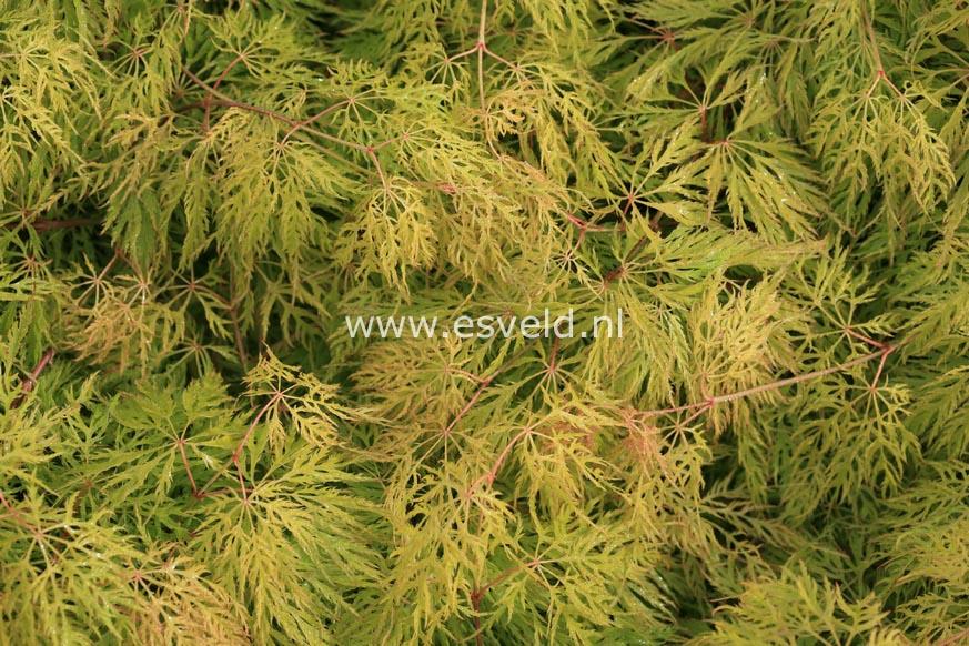 Acer palmatum 'Ellen'