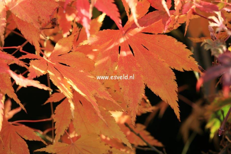 Acer palmatum 'Fukuya'