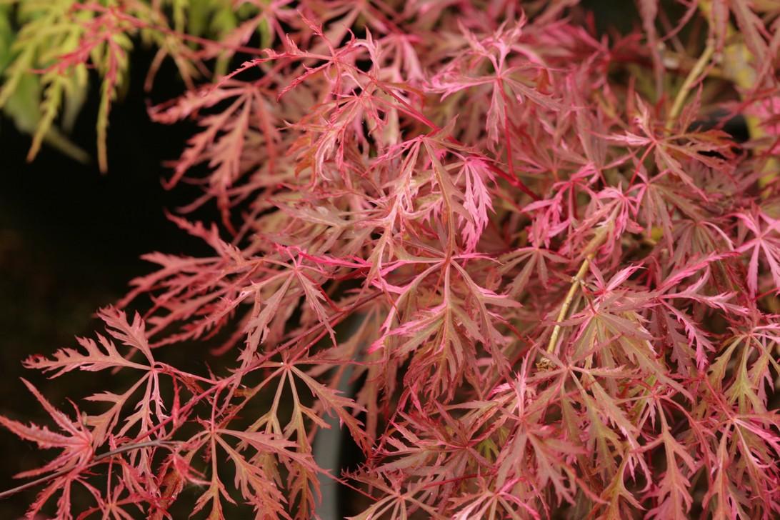 Acer palmatum 'Hana-matoi'
