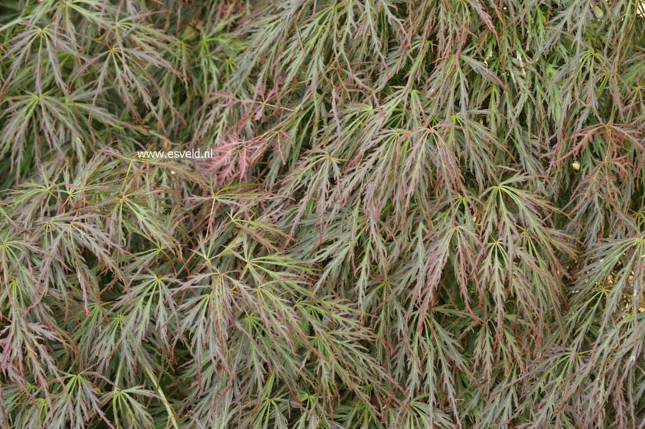 Acer palmatum 'Hanzell'