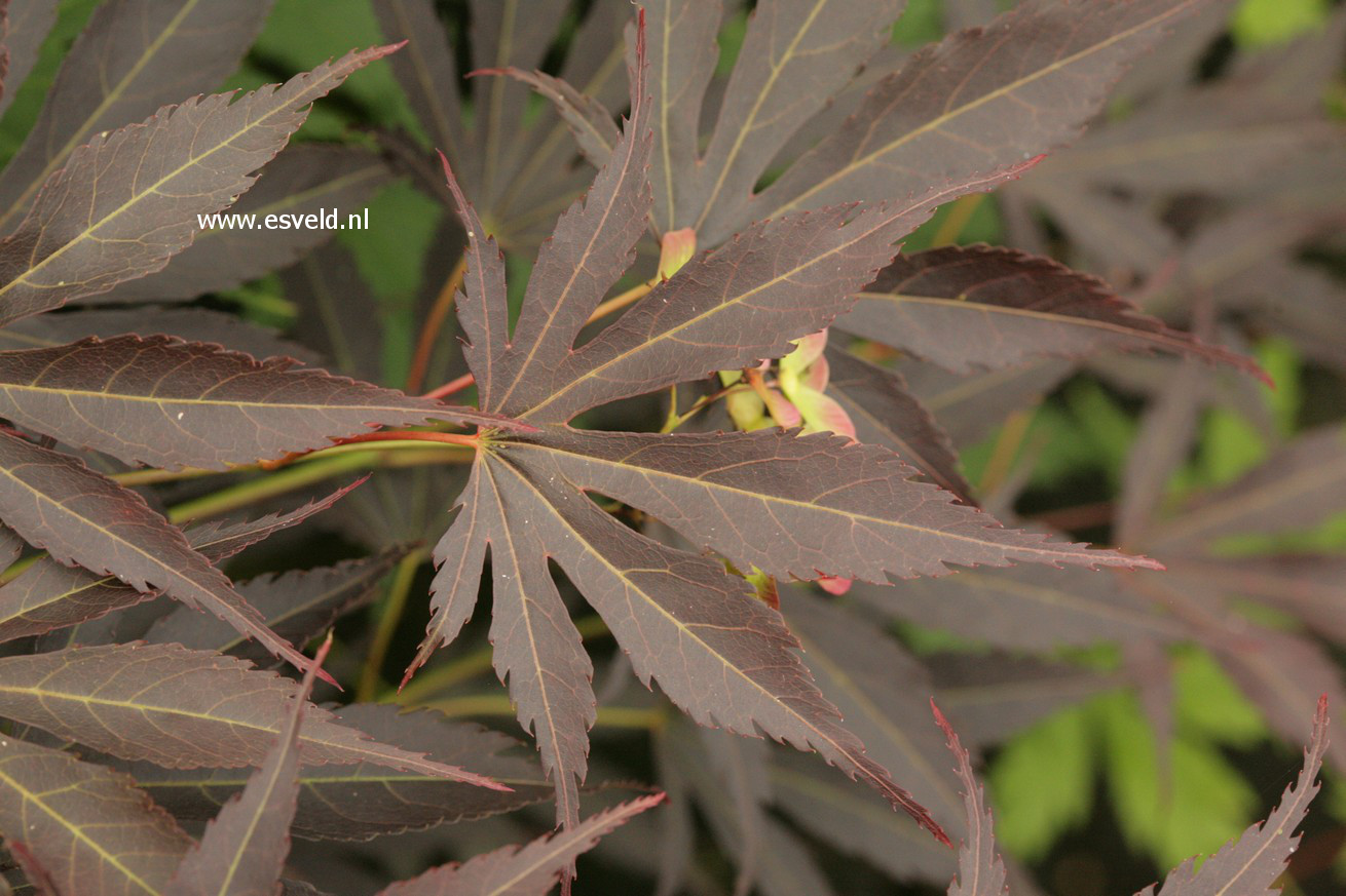 Acer palmatum 'Immoyama'