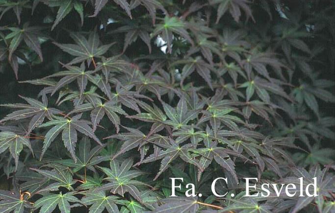 Acer palmatum 'Koriba'