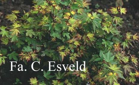 Acer palmatum 'Koto-maru'