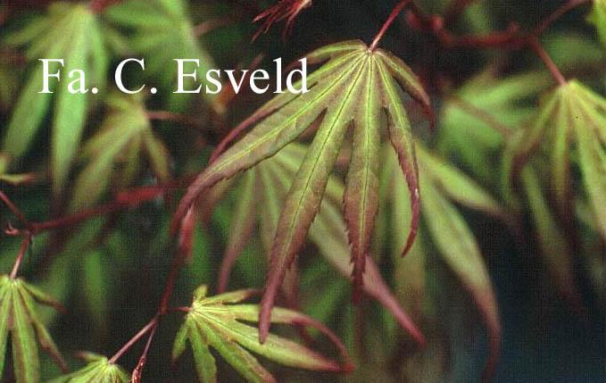 Acer palmatum 'Kuro-hime'