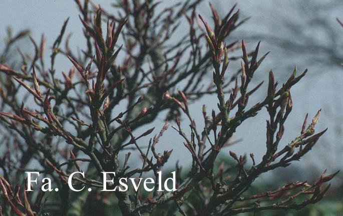 Acer palmatum 'Mikawa-yatsubusa'