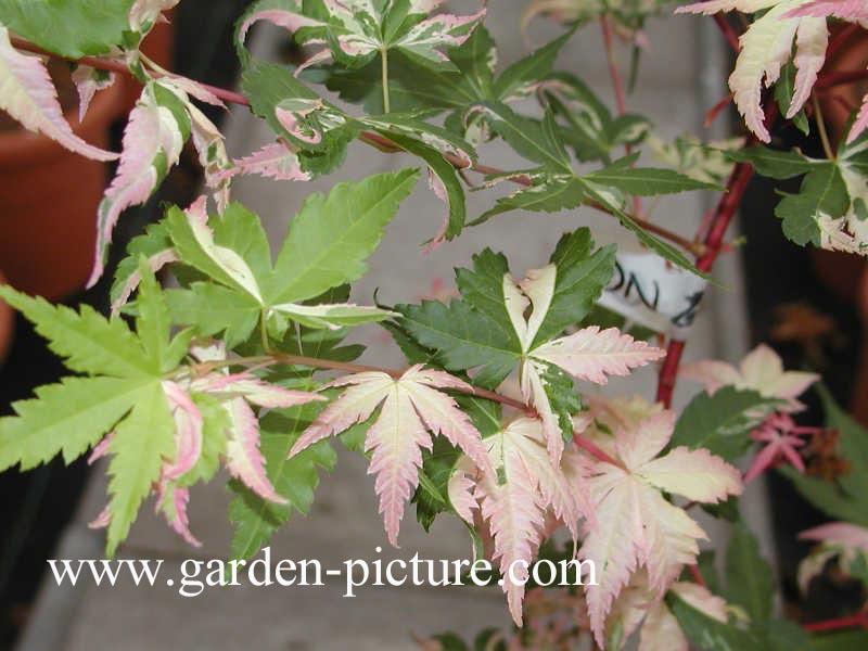 Acer palmatum 'Oridono-nishiki'