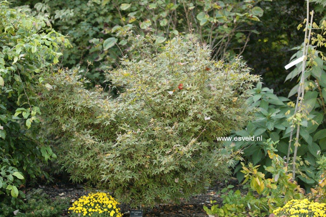 Acer palmatum 'Orion'