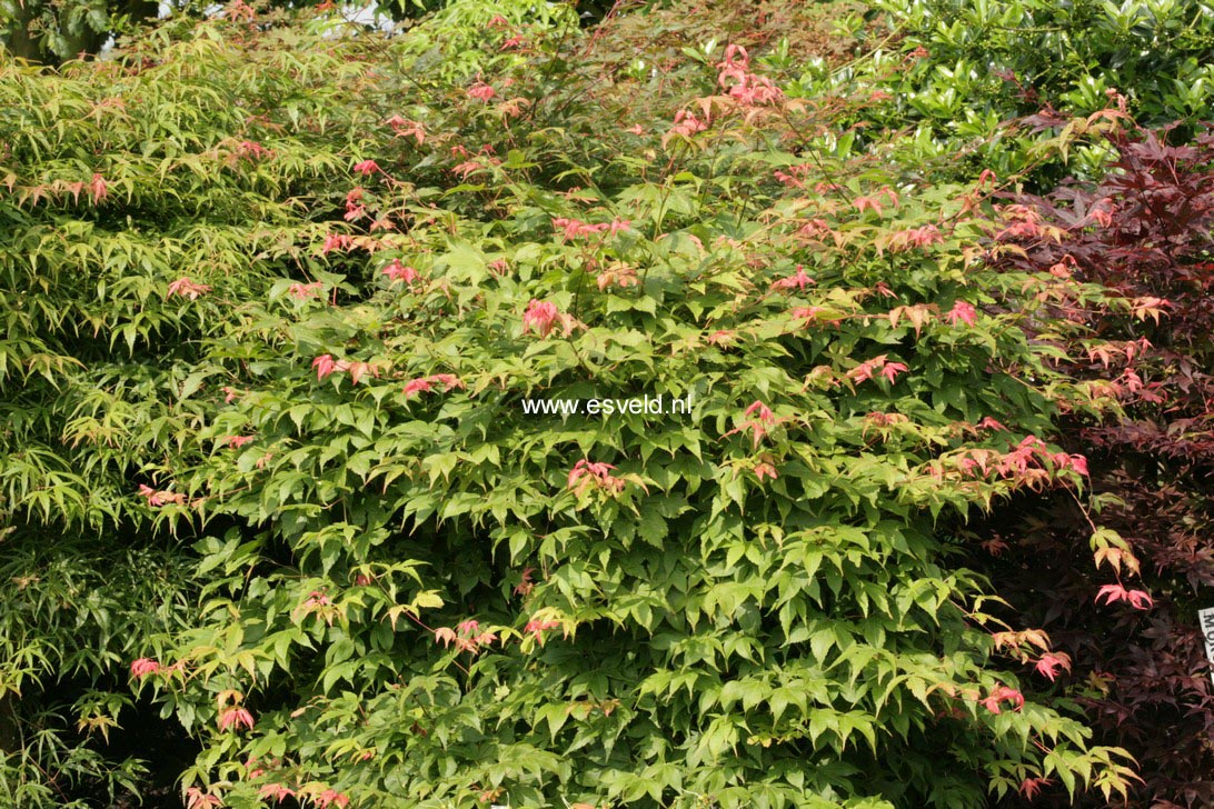 Acer palmatum 'Pam Trawick'