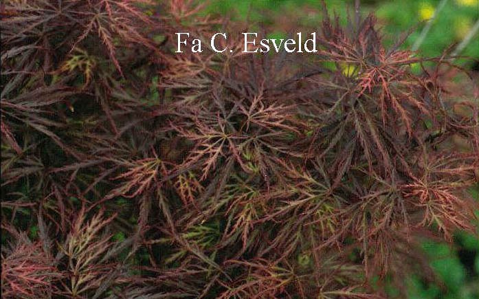 Acer palmatum 'Pink Filigree'
