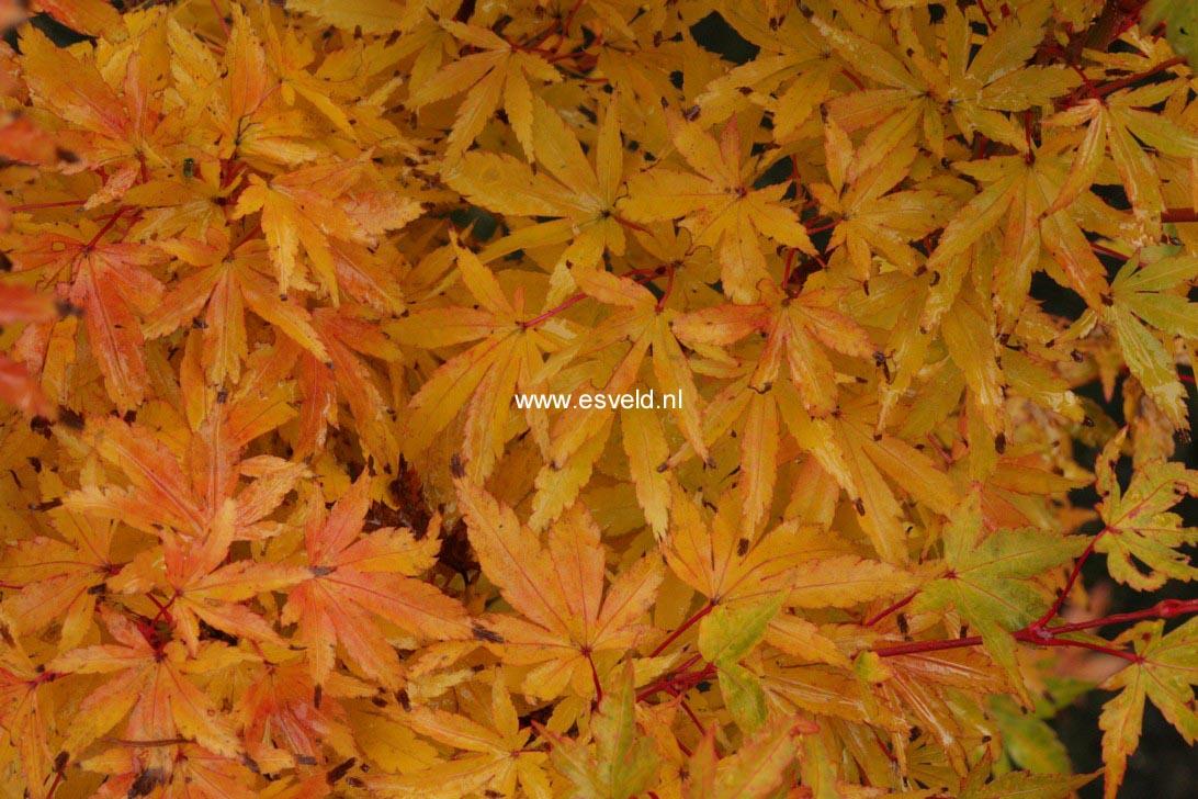 Acer palmatum 'Senski'