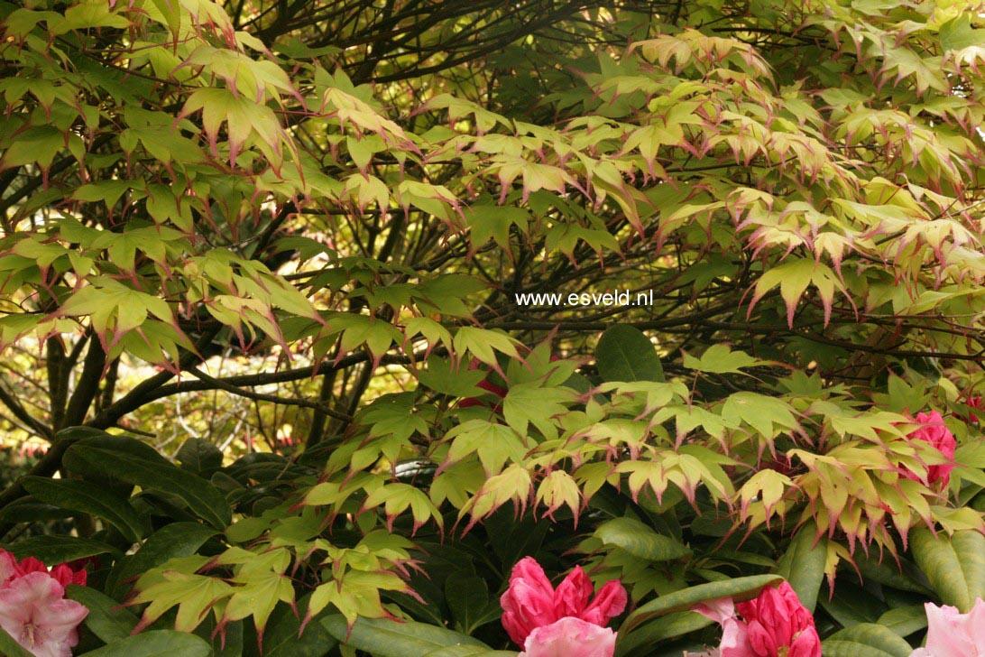 Acer palmatum 'Tsuma-beni'