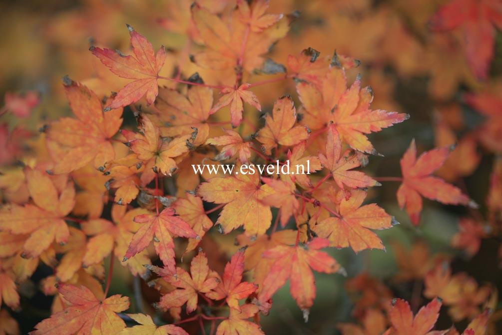 Acer palmatum 'Yatsubusa'