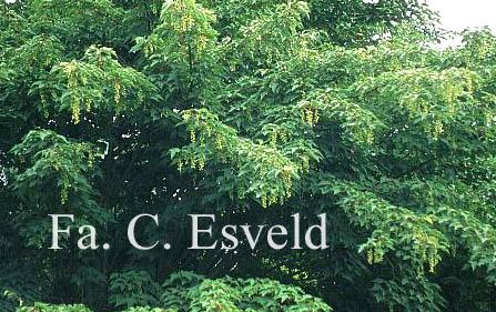 Acer pectinatum ssp. taronense