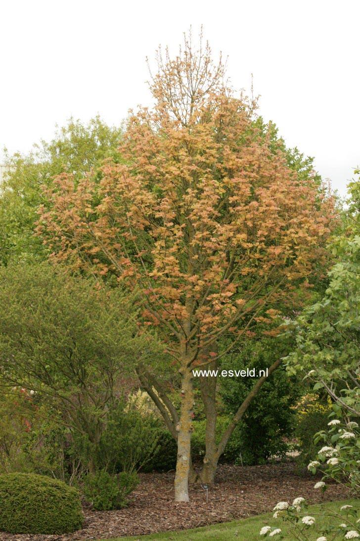Acer pseudoplatanus 'Puget Pink'