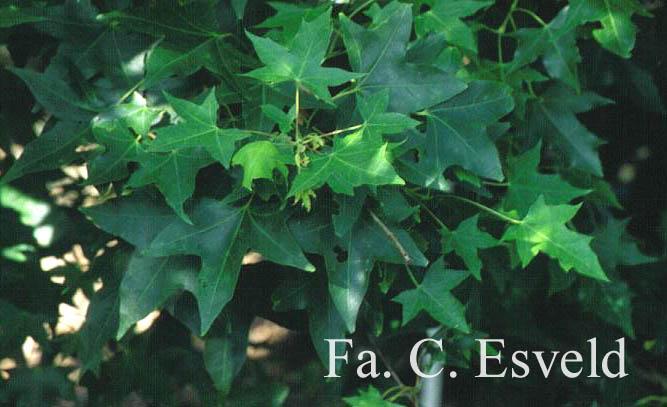 Acer pseudoplatanus 'Spring Gold'