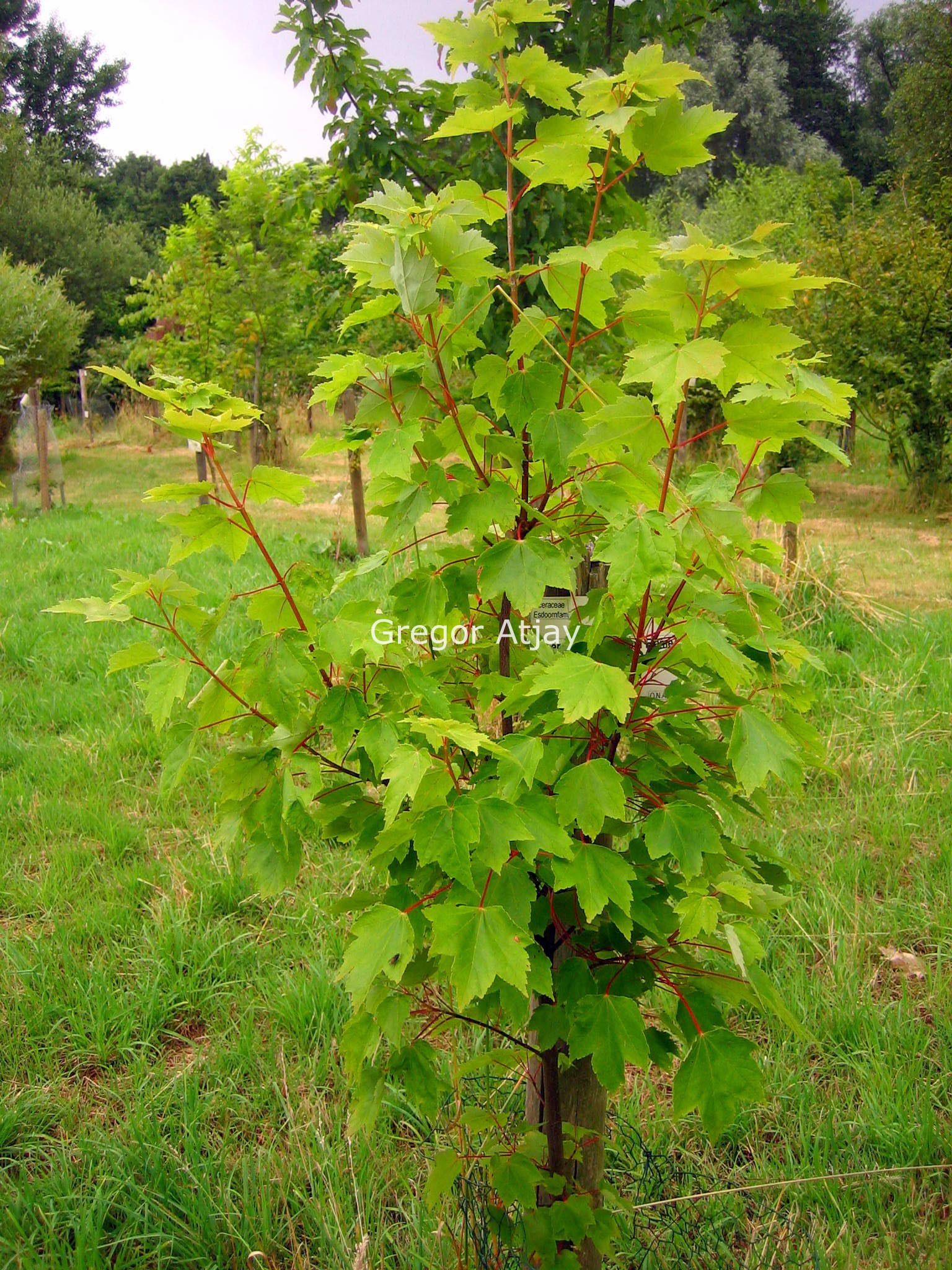 Acer rubrum 'Autumn Flame'