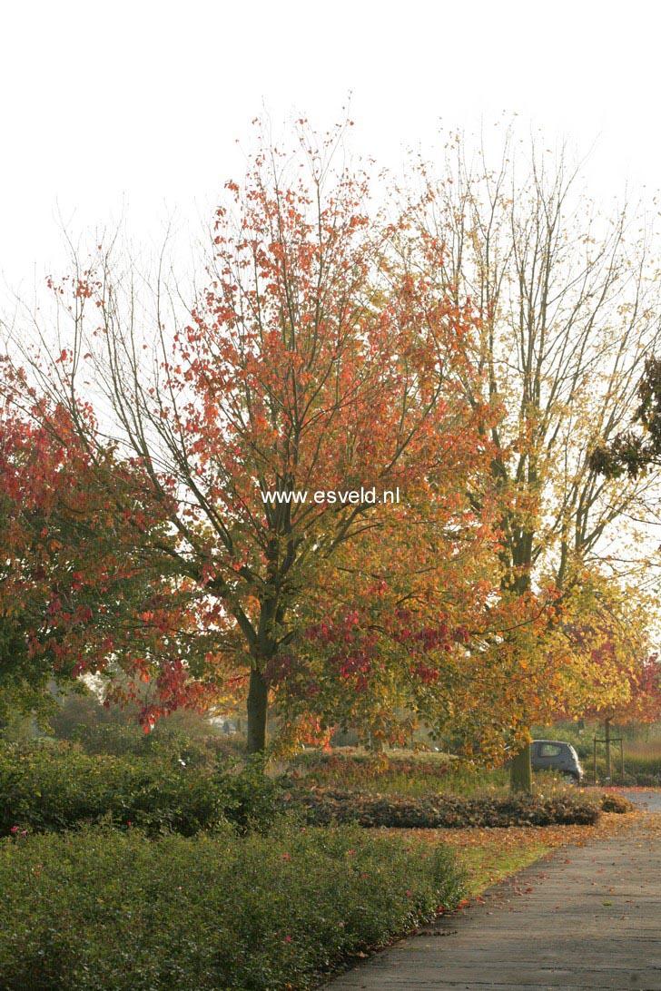Acer rubrum 'Franksred' (RED SUNSET)