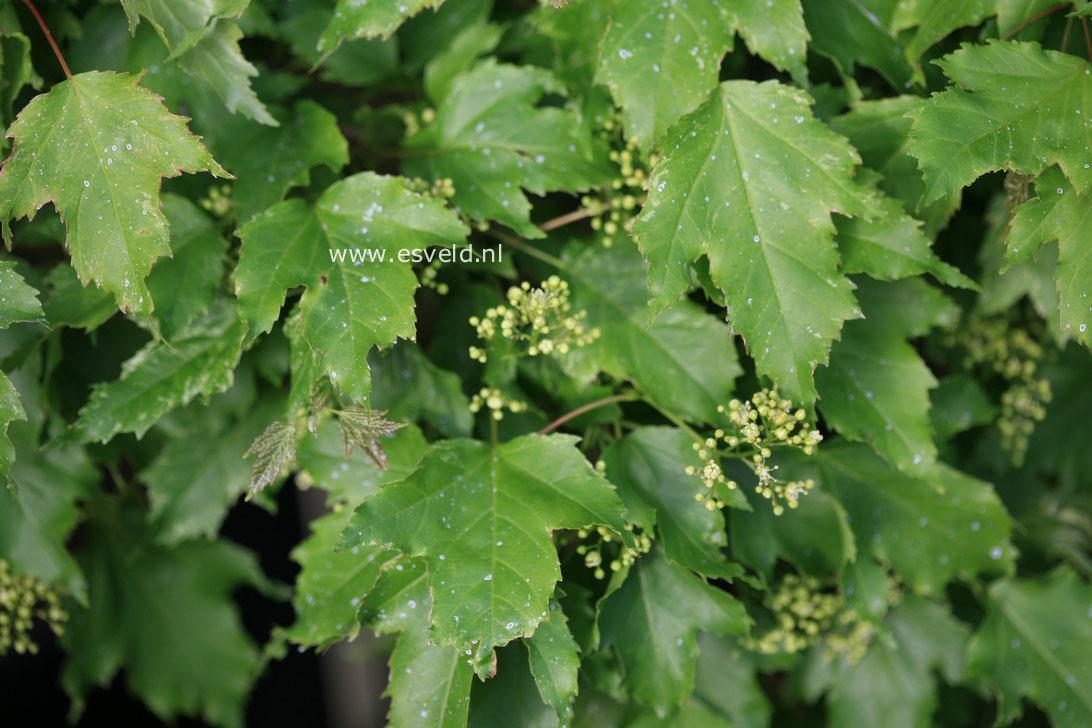 Acer tataricum 'Emerald Elf'