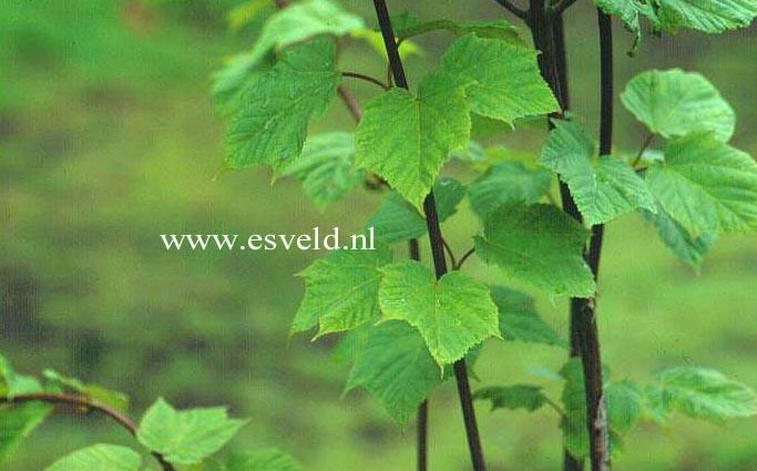 Acer tegmentosum 'White Tigress'
