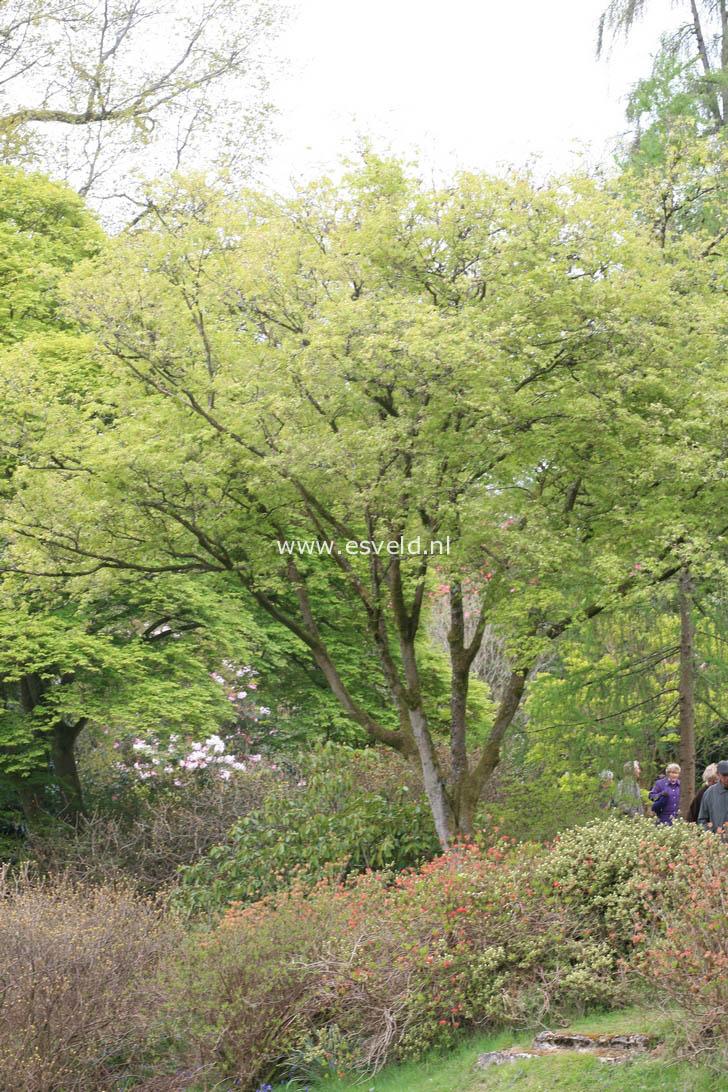 Acer truncatum 'Akikaze-nishiki'