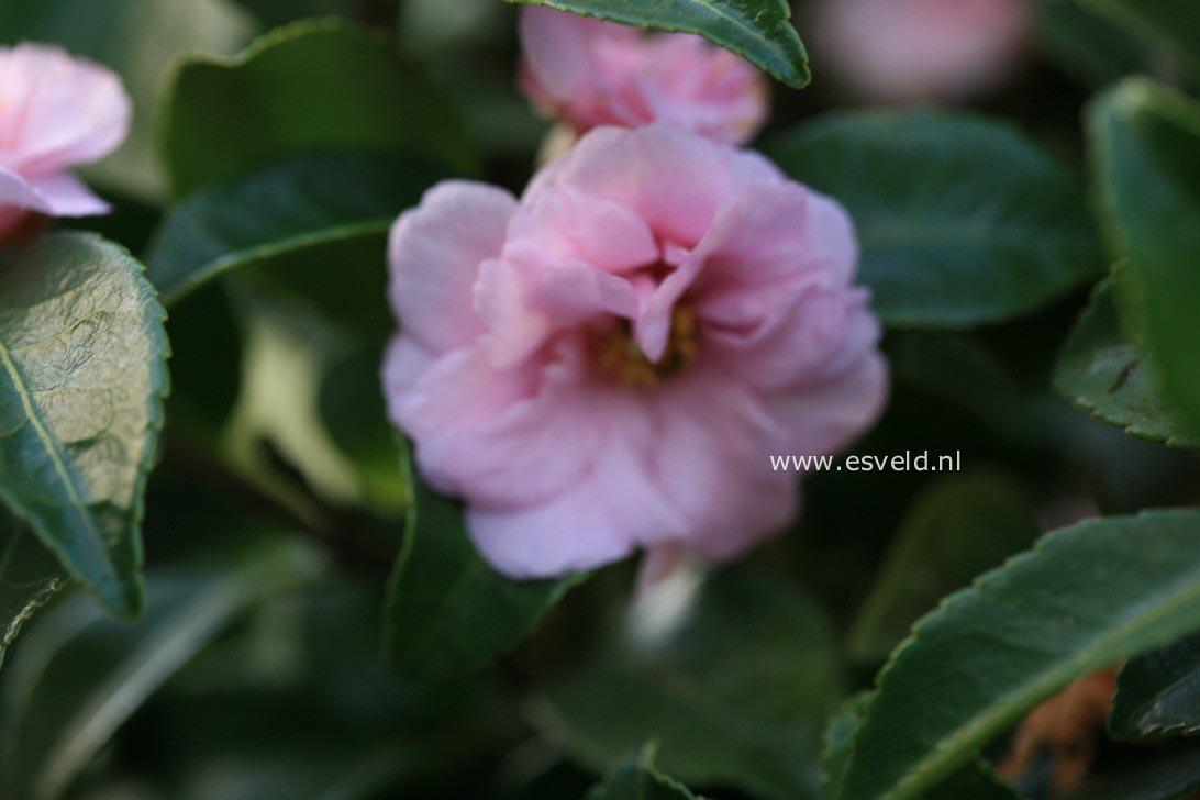 Camellia 'Winter's Peony'