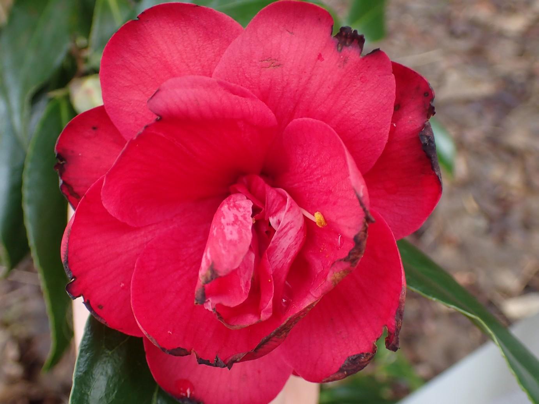 Camellia japonica 'Kuro Delight'