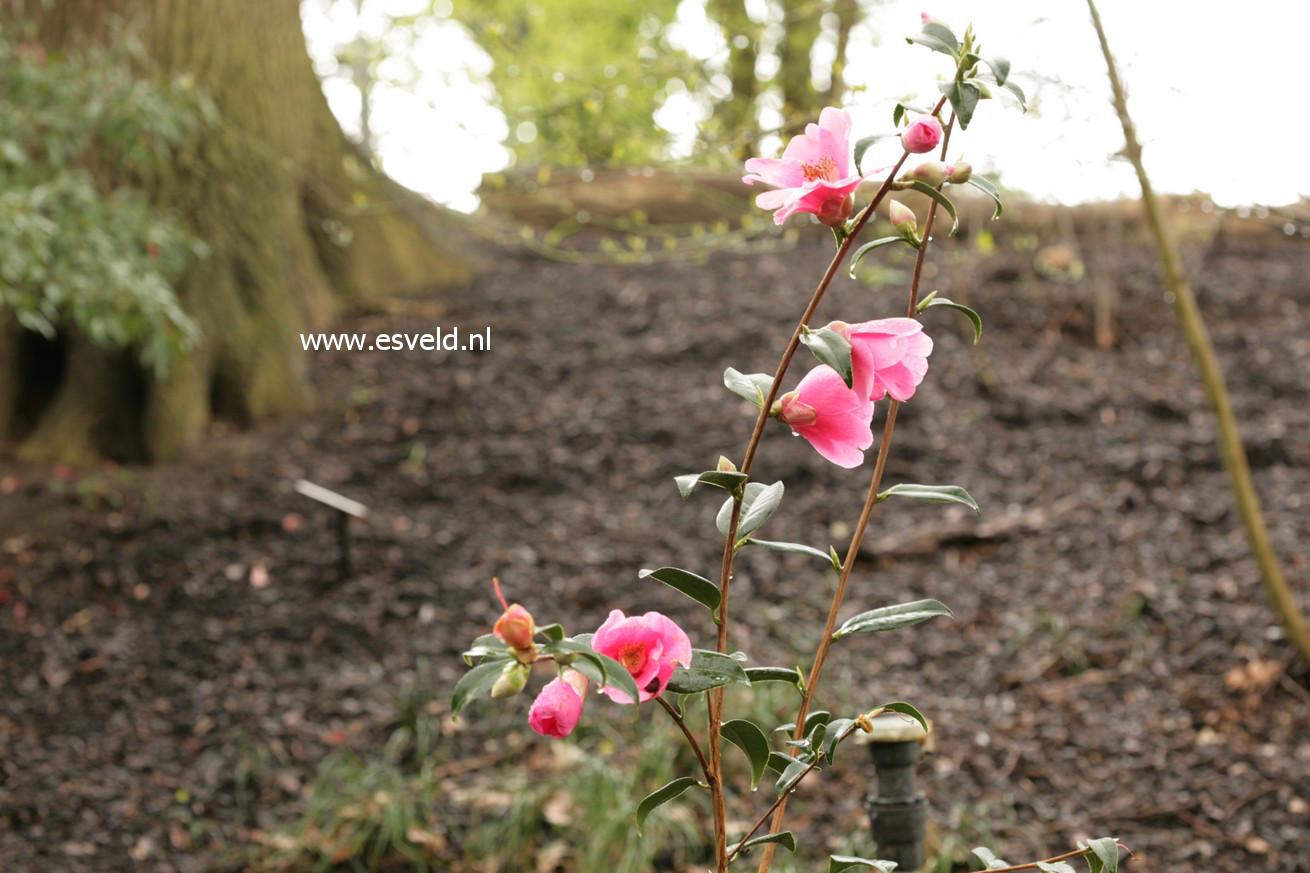 Camellia japonica 'Rosemary Williams'