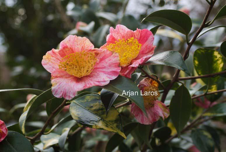 Camellia japonica 'Shin-tsukasa-nishiki'