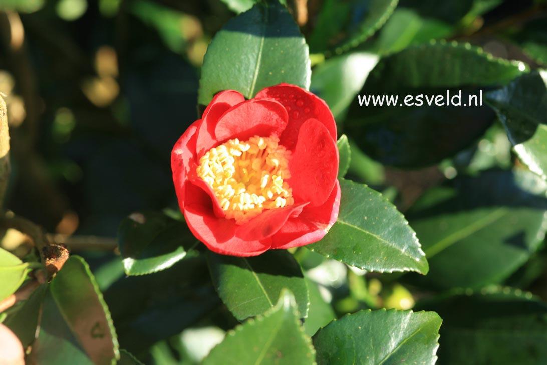 Camellia vernalis 'Yuletide'