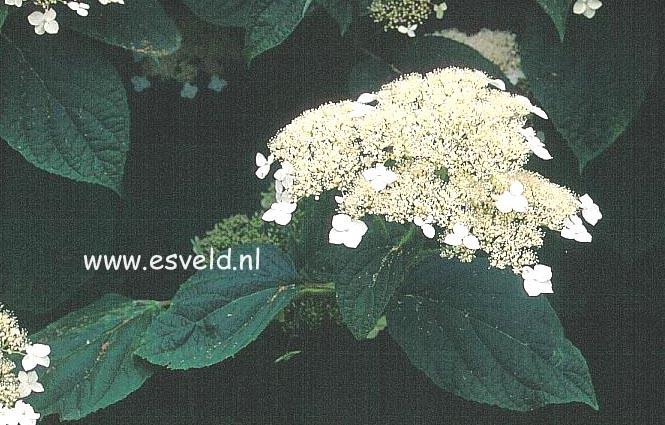 Hydrangea arborescens 'Dardom' (WHITE DOME)