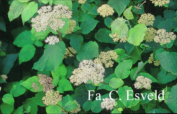 Hydrangea arborescens radiata