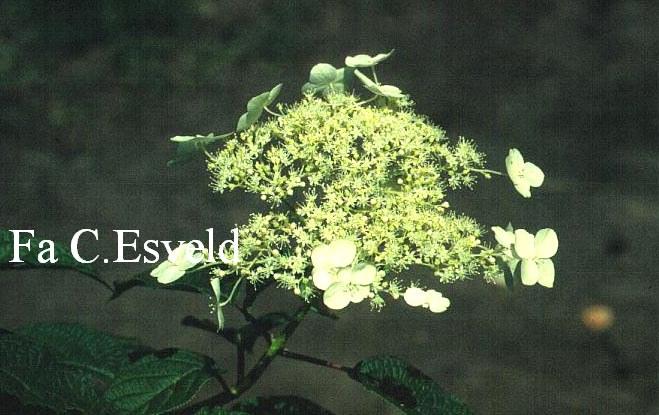 Hydrangea heteromalla 'Long White'