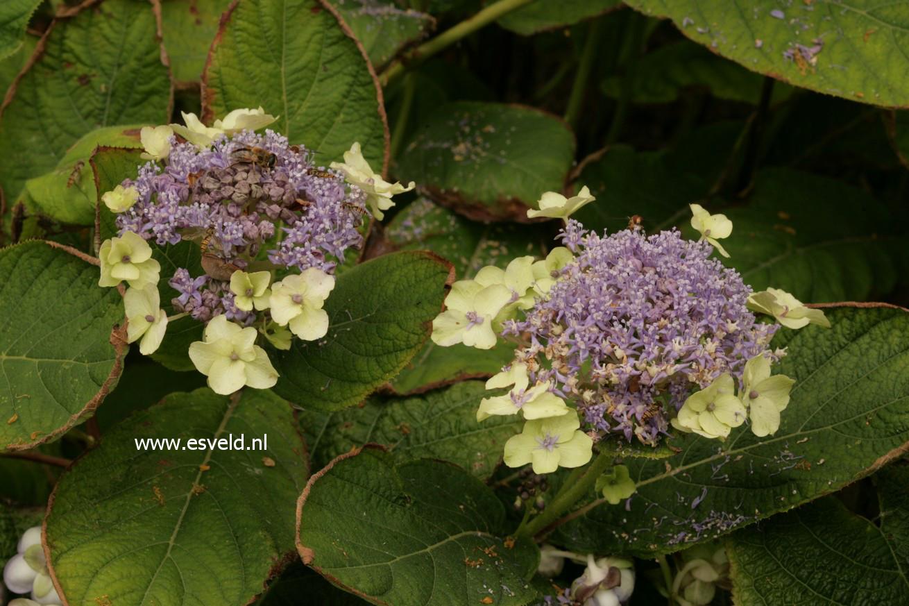 Hydrangea involucrata 'Viridescens'