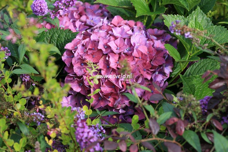 Hydrangea macrophylla 'Atlantica'