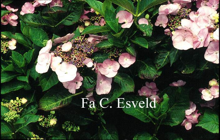 Hydrangea macrophylla 'Geisha'