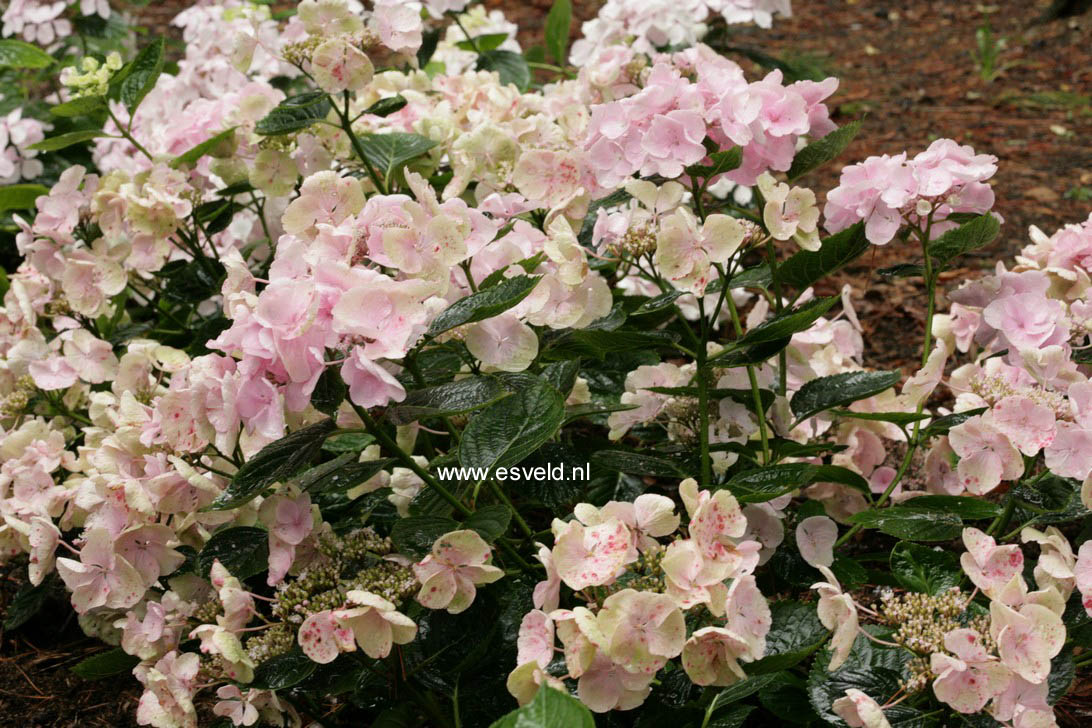 Hydrangea macrophylla 'Hobella' (HOVARIA)