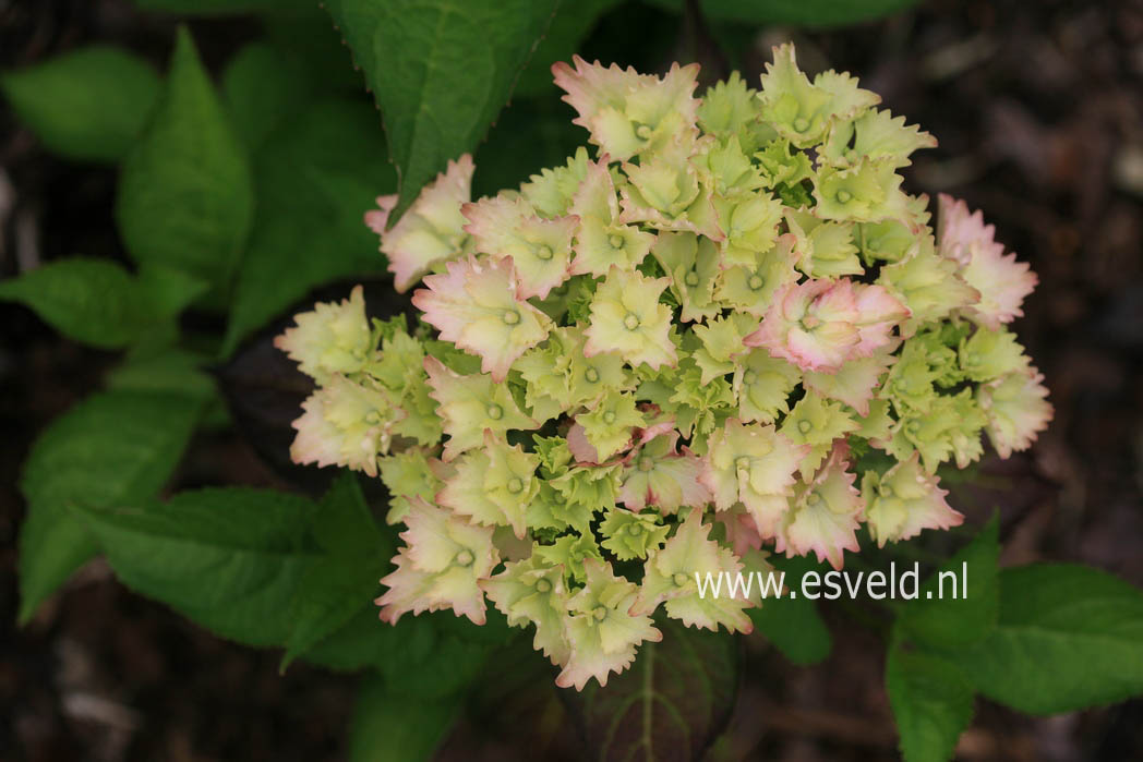Hydrangea macrophylla 'Hortmahar' (MAGICAL HARMONY)