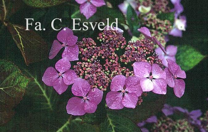 Hydrangea macrophylla 'Hortulanus H. Witte'