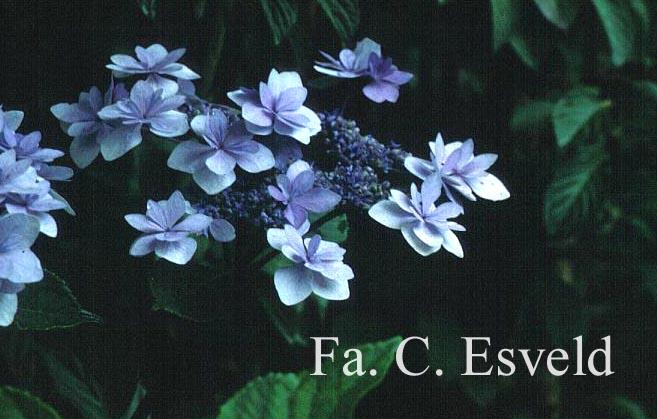 Hydrangea macrophylla 'Jogosaki'