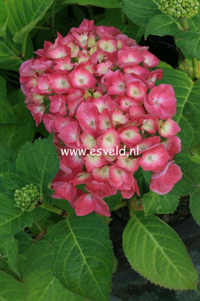 Hydrangea macrophylla 'Kluis Superba'