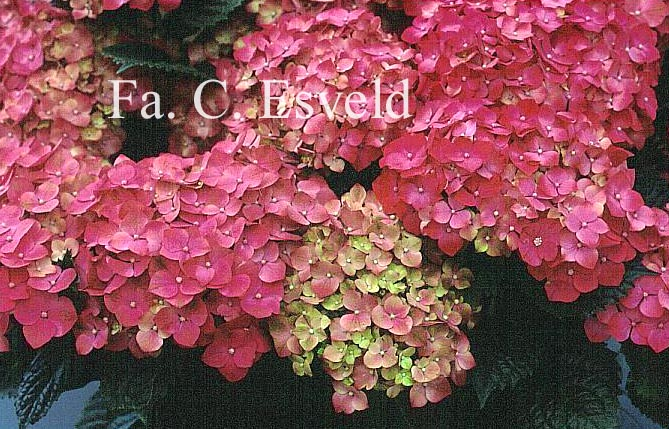 Hydrangea macrophylla 'Leuchtfeuer'