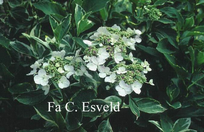 Hydrangea macrophylla 'Maculata'